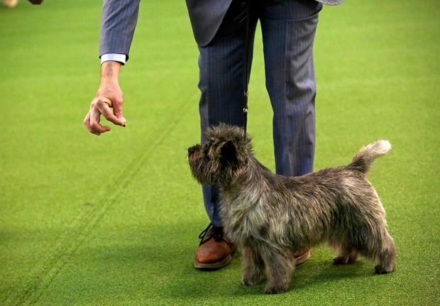 Cairn Terrier Photos From The 2020 Westminster Dog Show Cbs News