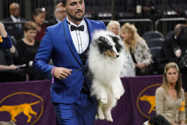 A Shetland Sheepdog named Conrad is carried into the ring at the 2020 Westminster Kennel Club Dog Show at Madison Square Garden in New York City