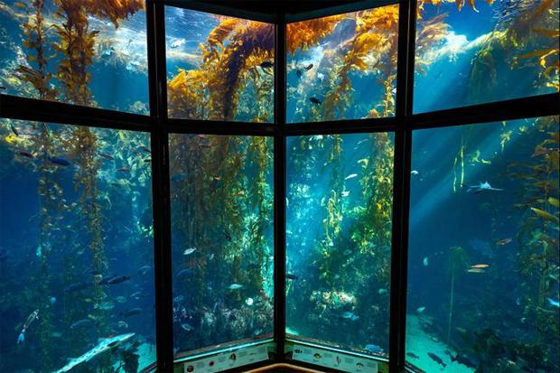 the-kelp-forest-exhibit-at-monterey-bay-aquarium-620.jpg