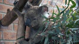 koalasextra.jpg