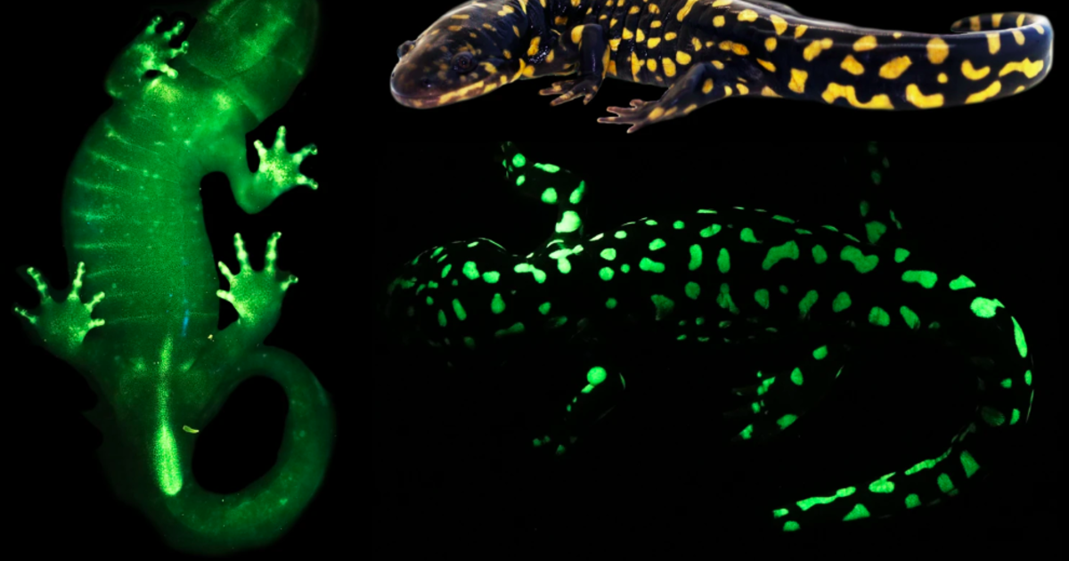 Amphibians are able to glow in the dark — but scientists had no idea until now