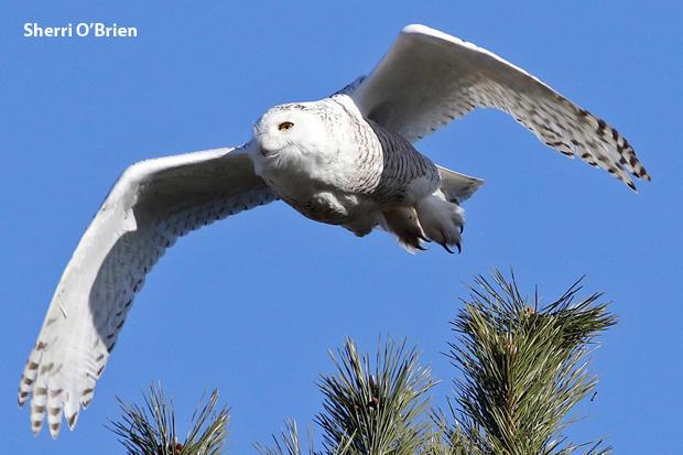 snowy-owl-sherri-obrien-620.jpg