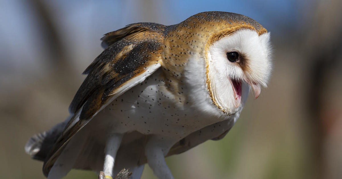 Nature Up Close What S Needed To Keep An Owl Alive Cbs News