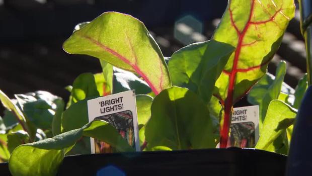 bright-lights-lettuce-victory-garden-620.jpg