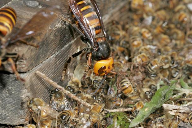 Japanese Giant Hornet, Vespa mandarinia, The killing field, Hase Valley, Nagano prefecture, Japan