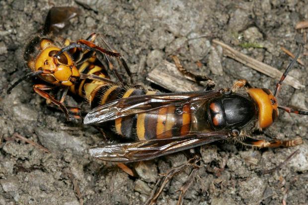 Japanese Giant Hornet, Vespa mandarinia, Mating, male facing camera, Hase Valley, Nagano prefecture, Japan