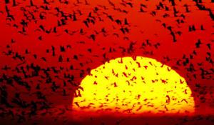 joel-sartore-sandhill-cranes-sun-promo.jpg
