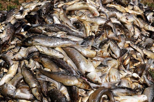 climate change mass fish death