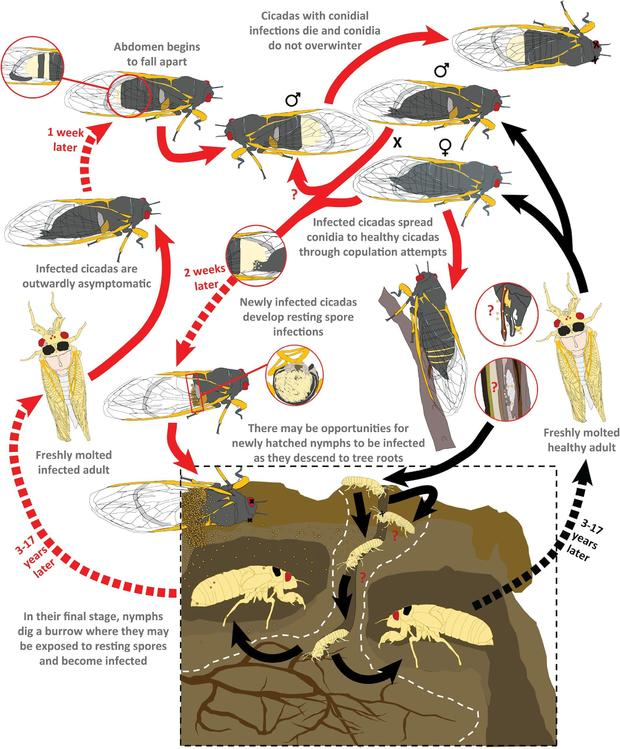 cicada-graph.jpg