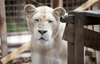FRANCE-ANIMAL-WHITE-LION