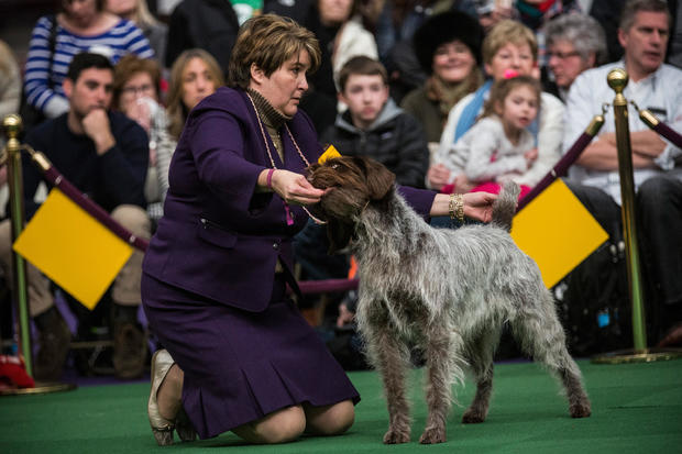 Champion Canines Compete At Annual Westminster Dog Show