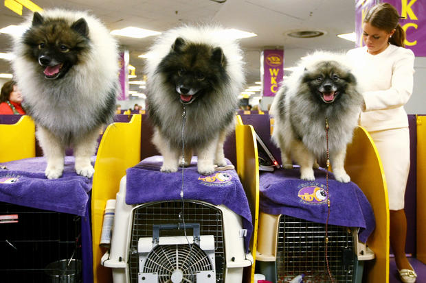 Champion Dogs Compete At Westminster Dog Show
