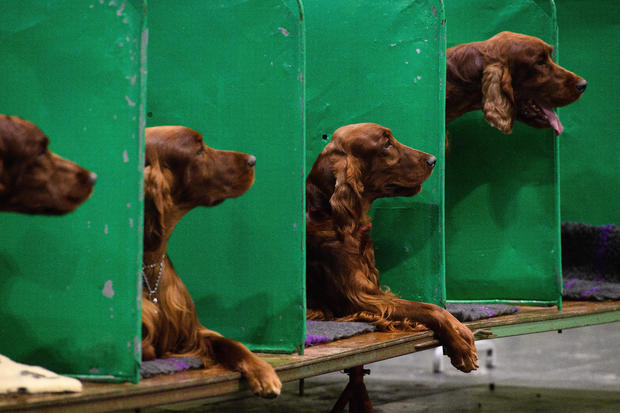 2018 Crufts Dog Show Day Four - Best In Show