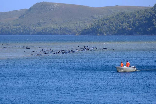 Stranded pilot whales are seen in Macquarie Heads