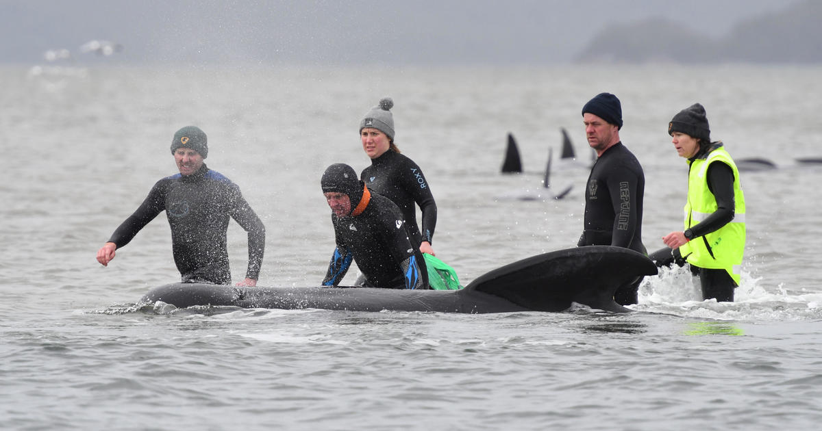 Race to save hundreds of stranded pilot whales as death toll tops 90