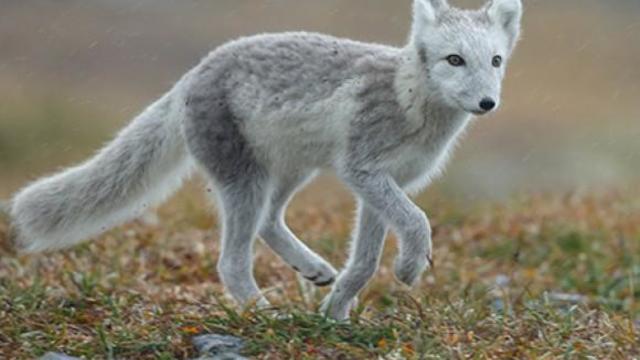 arctic-fox-504510.jpg