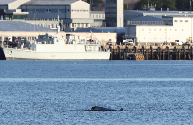 A whale is seen near a naval ship near the Faslane nuclear submarine base in Gare Loch as rescuers are racing to herd a group of whales out of a Scottish loch ahead of major military exercises in Scotland