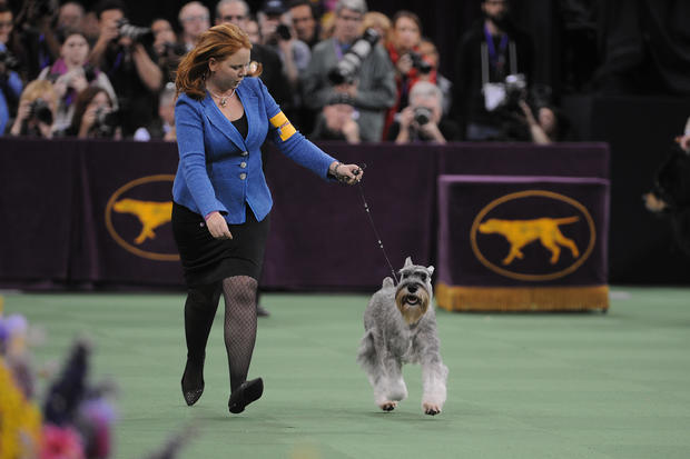 The Westminster Kennel Club Dog Show - 2016