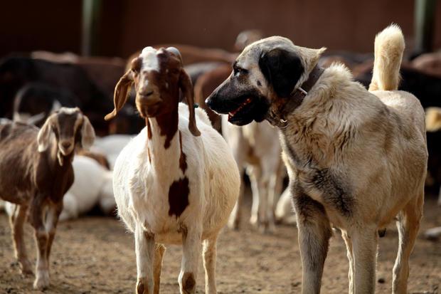 NAMIBIA-CHEETAH-LIVESTOCK-WILDLIFE-ANIMALS-