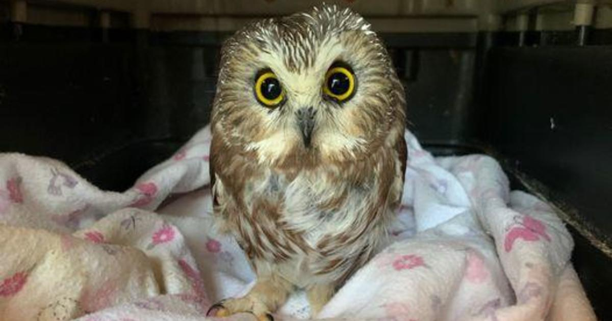 Owl rescued from Rockefeller Christmas tree is almost ready to be released