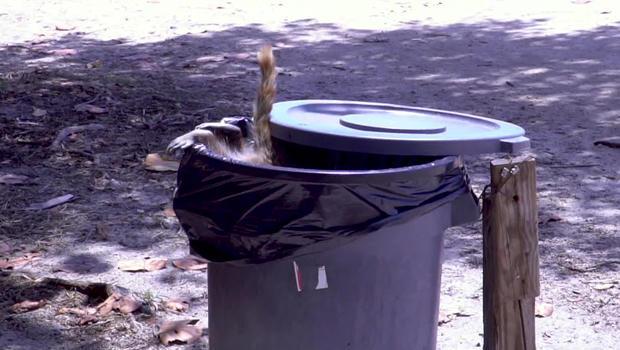 raccoon-in-garbage-bin-620.jpg