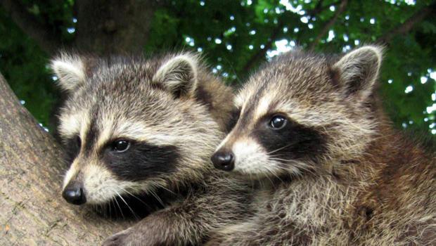 raccoons-b-620.jpg