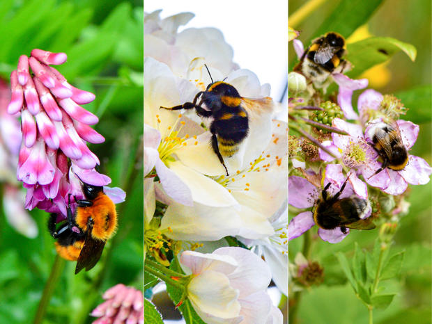 these-photos-show-different-patagonian-bumblebees-credit-eduardo-zattara.jpg