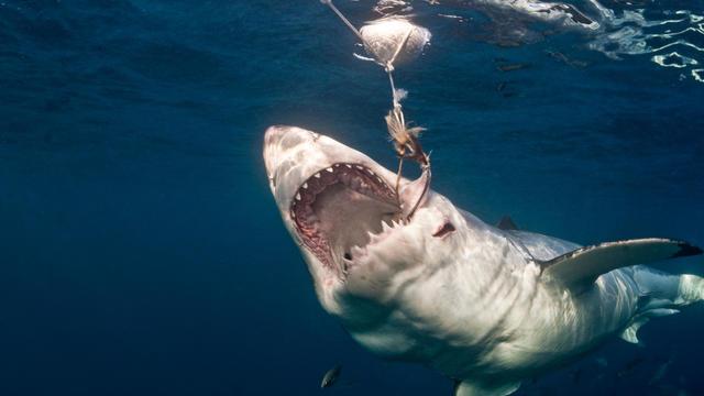 Great White Shark Taking Bait