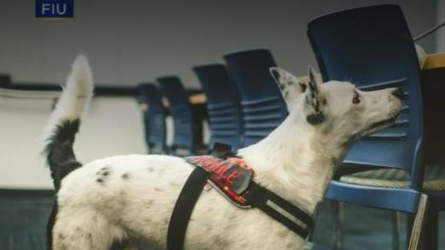 fiu-covid-sniffing-dog.jpg