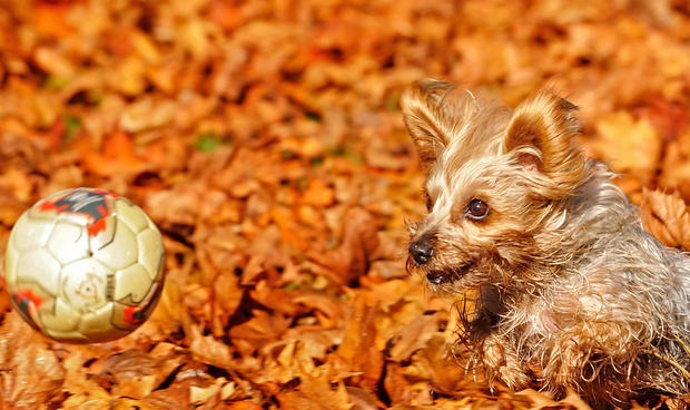 A Yorkshire terrier named Loki plays wit