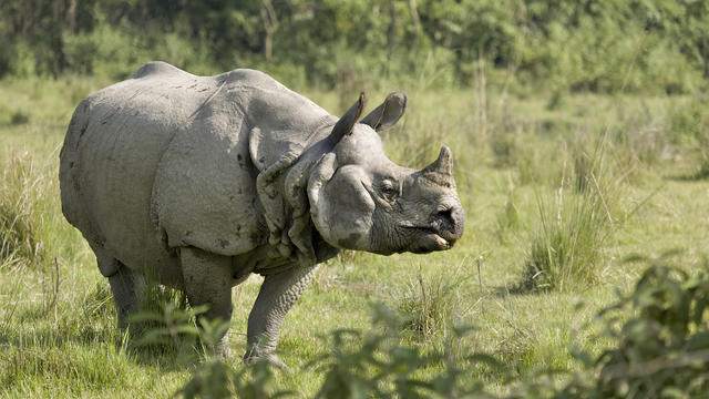 Indian Rhino bull