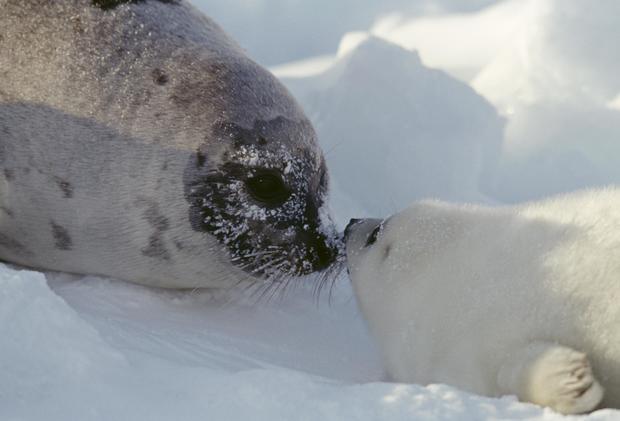 Harp seal, Magdalen Islands, Quebec