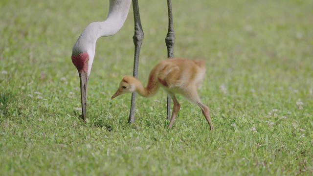 sandhill-crane-and-chick1920-711208-640x360.jpg