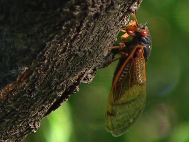 brood-x-cicada-1280.jpg