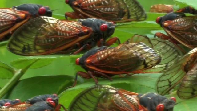 cicada-throng-1280.jpg