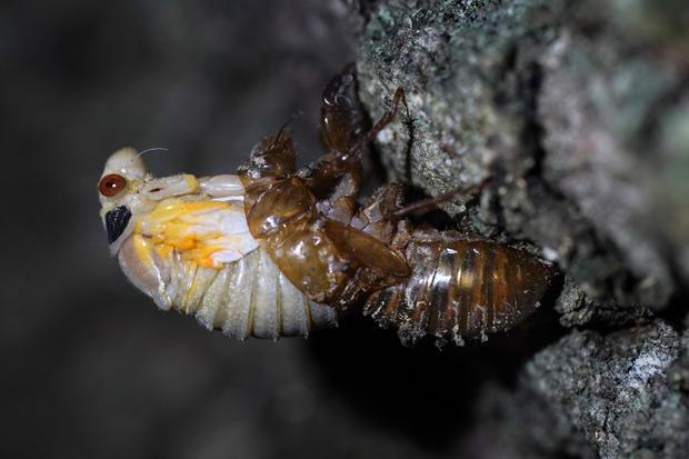 APTOPIX Cicada Invasion