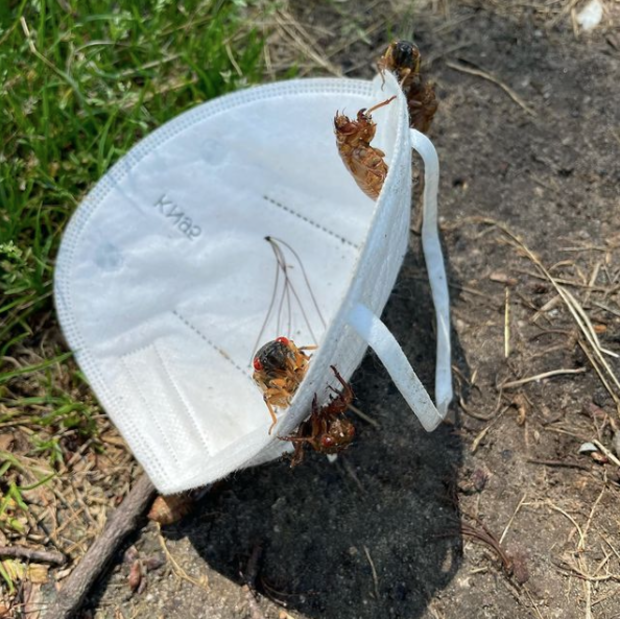 mask cicada brood x