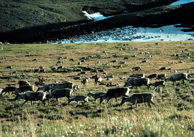 Senate Votes Not To Allow Drilling In Artic Refuge