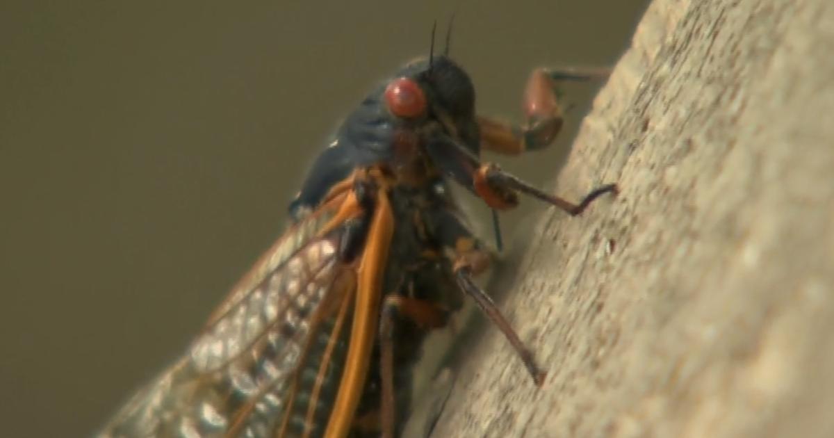 Brood X cicadas light up national weather radar as U.S. grapples with swarms