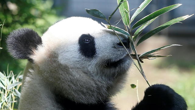 FILE PHOTO: A female giant panda named Shin Shin which zoo officials say may be pregnant is seen through a window at Ueno Zoological Park in Tokyo