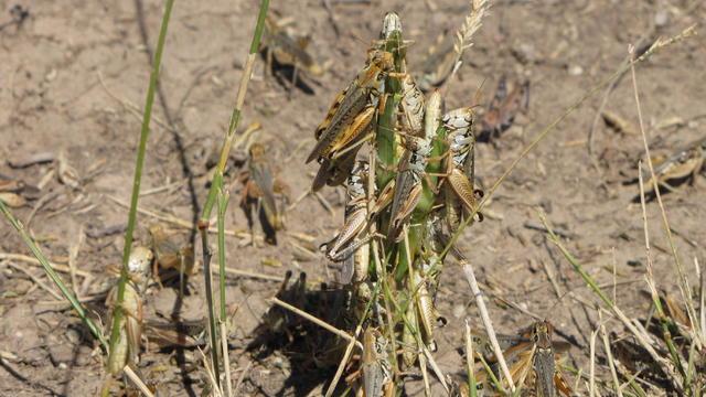 Western Drought-Voracious Grasshoppers