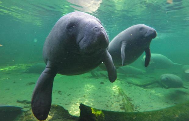 Manatees swimming in Florida
