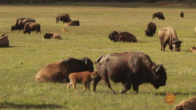 bison-772035-640x360.jpg