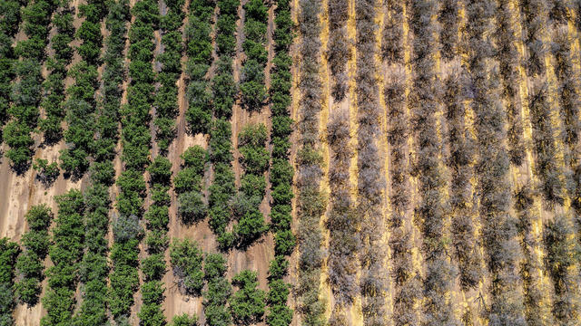 California's Drought Is So Bad That Almond Farmers Are Ripping Out Trees