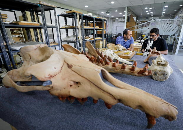 Researchers at El Mansoura university work on renovating the 43 million-year-old fossil of a previously unknown amphibious whale called