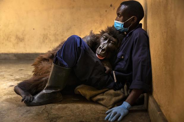 Virunga anuncia la muerte de Ndakasi, gorila de montaña huérfano