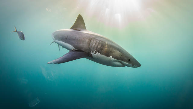 Great White Sharks: The Graceful Giant Behind Hollywood's Bloodthirsty Predator